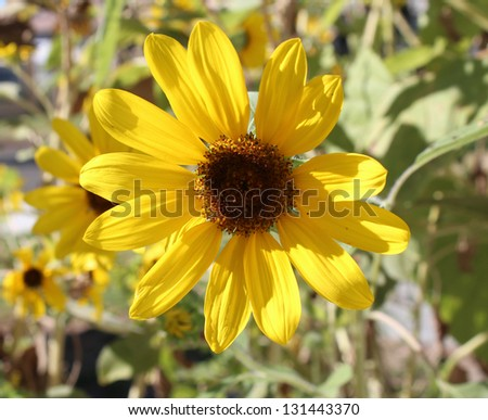 Bright  circular sunflower Helianthus annuus  inflorescence  with rough hairy stems and leaves blooming in late summer . - stock photo