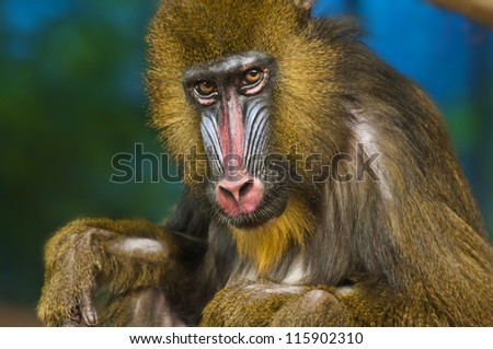 Bright Colored Adult Male Mandrill close-up portrait - stock photo