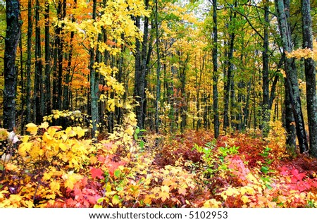 Bright colored trees in a forest during autumn time - stock photo
