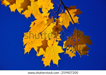 Bright colorful leaves decorate our parks autumn. Autumn leaves on the branches. - stock photo