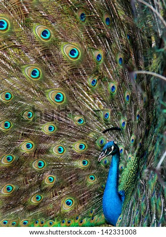Bright colorful peacock with colorful tail fully opened - stock photo