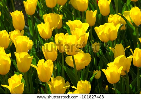 Bright colorful Tulip blossoms in spring - stock photo