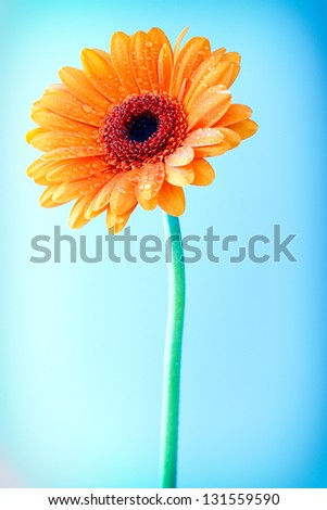 Bright colourful orange Gerbera daisy with water droplets from dew or rain covering the petals against a clear blue sky - stock photo