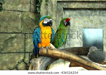 Bright couple macaw parrots . Blue and yellow and green . - stock photo
