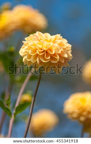 Bright dahlia blossom in close-up against blurred background; Autumn flower; Flowering ornamental plant - stock photo