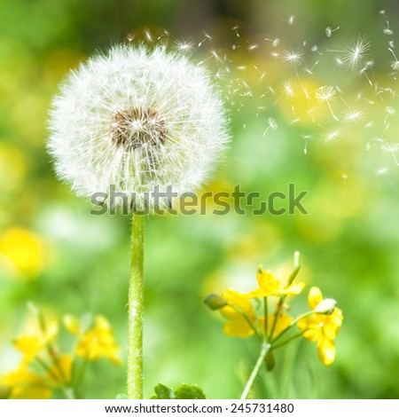 bright dandelion with flying seeds. spring season - stock photo