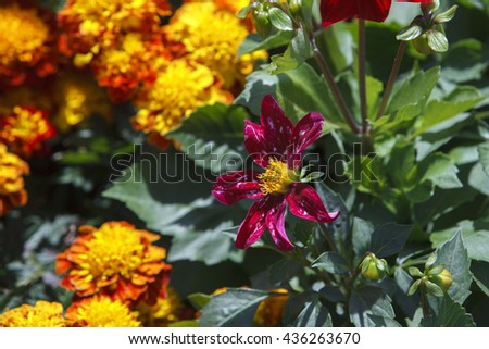 Bright different colored dahlia flowers as a floral background or wallpapers. French Marigold's golden flower(Tagetes patula). background of flowers - stock photo