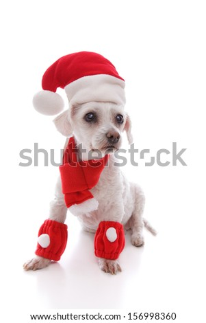 Bright eyed adorable white dog dressed in a scarf and leg warmers and wearing a santa hat at Christmas. - stock photo