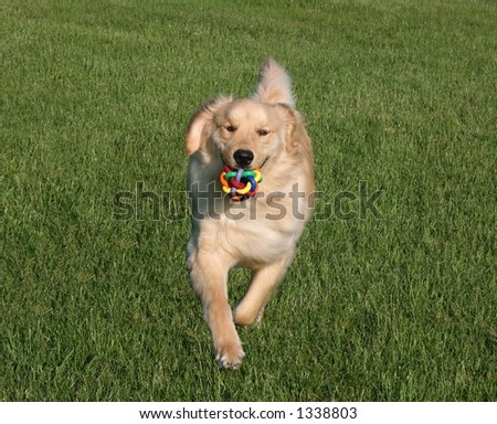 Bright eyed 90lb adult male Golden Retriever in motion. - stock photo