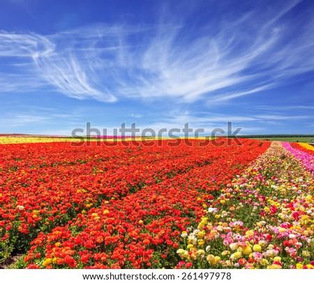 Bright festive red blooming field of buttercups. Cool and windy spring day - stock photo