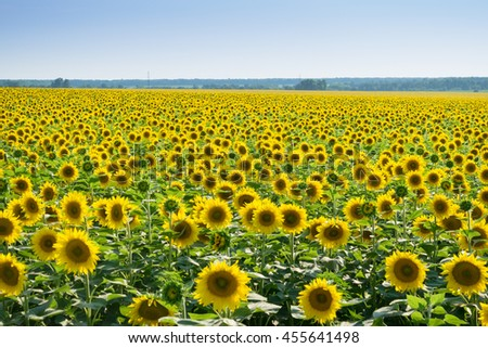 Bright field of yellow sunflowers and sky on warm sunny summer day - stock photo