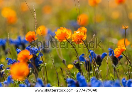 Bright floral natural background with blue and orange wildflowers growing in the meadow on a sunny day - stock photo