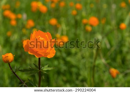 Bright floral natural background with orange flower closeup, growing in a meadow on a sunny day