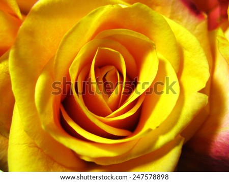Bright flowering yellow orange roses in a bouquet