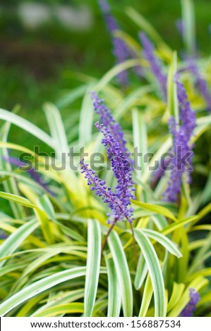 Bright flowers of Lavander plant in the garden - stock photo