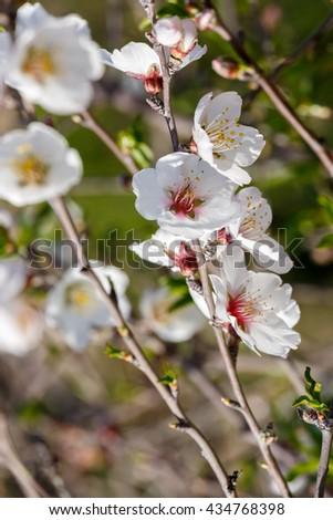Bright flowers on almond  tree - stock photo