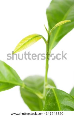 Bright fresh sprout of lemon. Super macro shoot  (Isolated on white) - stock photo