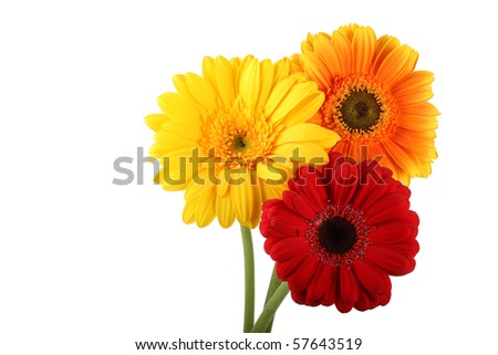 Bright Gerbera daisies - stock photo