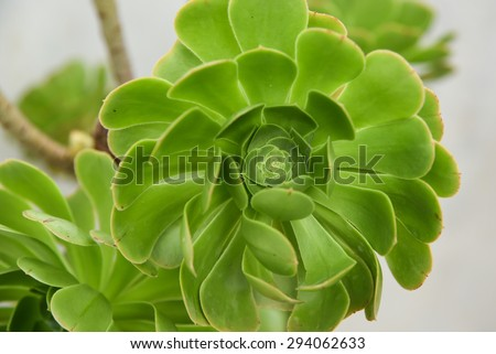 Bright green Cactus Succulent Plant, top view In botanical garden Ooty India. Budding Echeveria with beautiful tiny green leaves flower pattern.