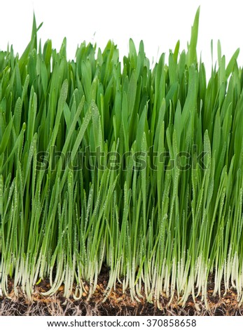 Bright green grass in the organic soil over white background - stock photo