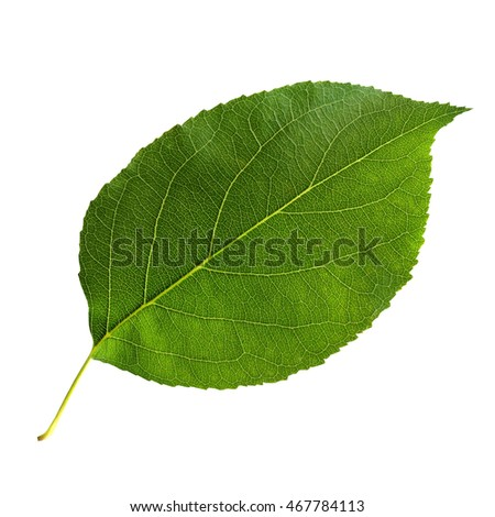 Bright green leaf of an Apple tree, isolated on a white background.
