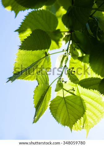 Bright green leaves and tiny flower buds of the lime tree in the sunshine. - stock photo
