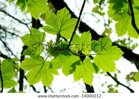 Bright green leaves of a tree