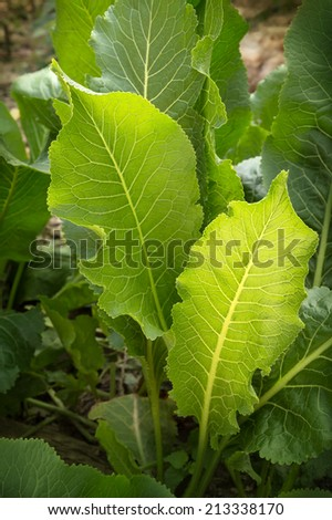 Bright green leaves of horseradish in a warm evening light in the home garden. Close-up view with room for text on dark backdrop of the earth - stock photo