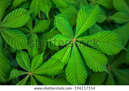 Bright green leaves of the chestnut tree - stock photo