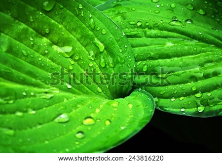 Bright green leaves with dew - stock photo