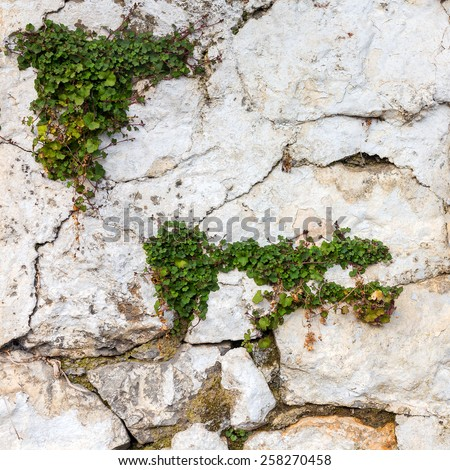 Bright green plants on the stone wall. Great background or texture. - stock photo