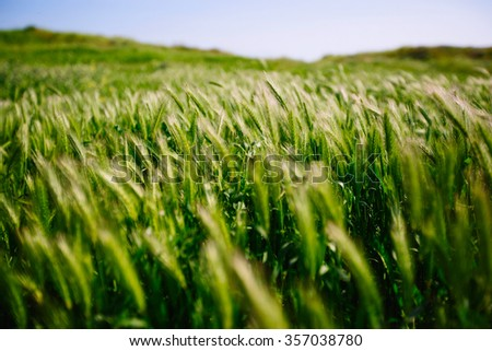 Bright Green wheat ears close-up in the wind - stock photo