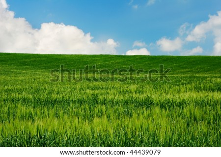 Bright green wheat field in late spring with blue and white sky