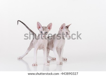 Bright Hairless Very Young Curious Peterbald Sphynx Cats Sitting on the white table with reflection. White background.