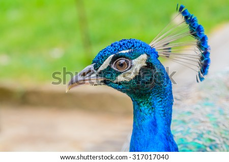 Bright head of Peacock with blue feathers on top.Soft focus of male blue peacock head with blurred background - stock photo