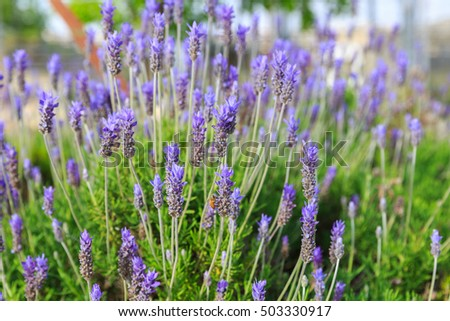 Bright lavandula dentata in shallow DOF