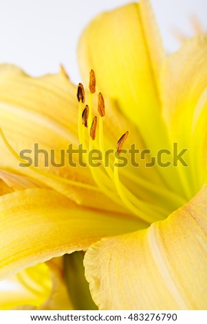 Bright lily flower photographed close up. Pistil lily. Macro