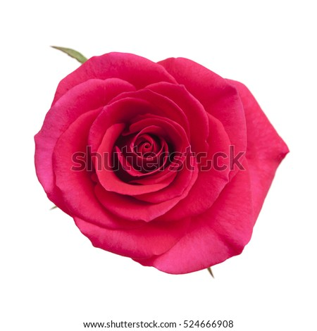 bright magenta rose flower isolated on white background