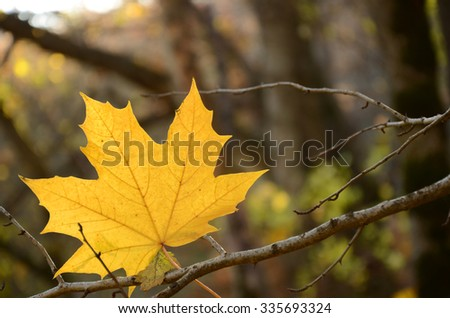 Bright maple leaf hangs on a tree - stock photo