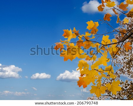 bright maple leaves