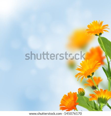 Bright marigold flowers on a blue background. - stock photo