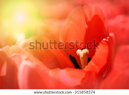 Bright nature background with sunny red beautiful tulip - stock photo