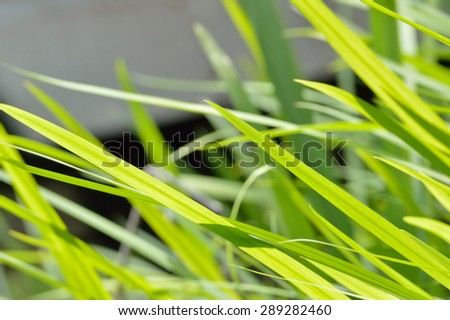Bright neon green wild lily grass blowing in the wind against a white and black background, all in bright mid-day sun. - stock photo