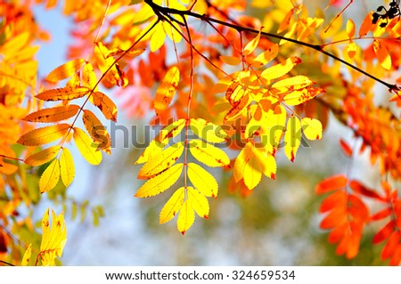Bright orange and yellow leaves of mountain ash  - natural autumn background - stock photo