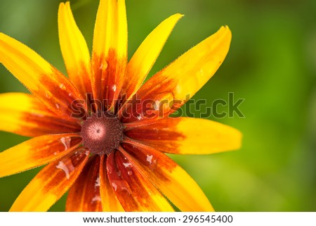 bright orange and yellow rudbeckia flower in the garden macro shot. with blurred natural green background and copyspace for your text. - stock photo