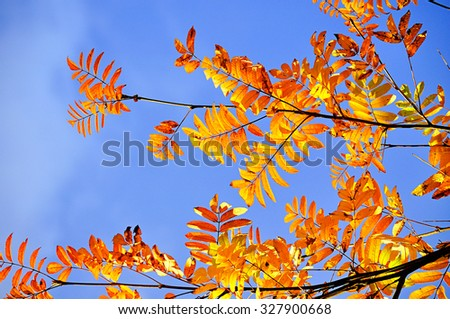 Bright orange ash berry leaves against blue sky in sunny day - autumn natural background  - stock photo