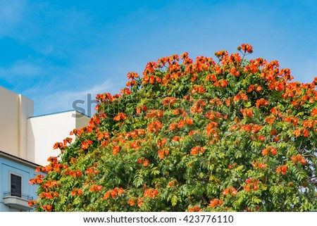 Bright orange blooms growing on rounded tree top.  Bright orange blooms grow on a rounded tree top near a white building with one window on a bright summer day - stock photo