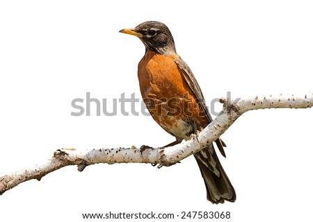 Bright orange breasted robin perched on a birch branch. The peeling away birch provides a soft landing spot for the bird. White background.