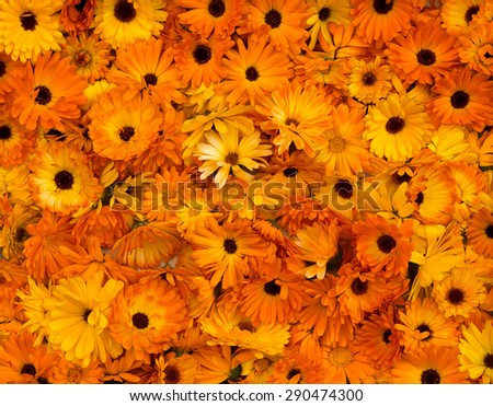 Bright orange flower heads pot marigold (Calendula officinalis) picked for drying - stock photo