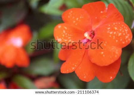 Bright orange flower of an impatiens plant with dew drops or rain drops, a popular flowering annual in the home garden. - stock photo